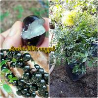 bibit buah anggur brazil super best seller