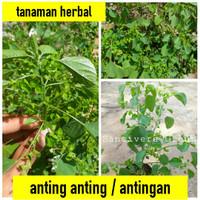 pohon anting anting | antingan | obat herbal pencernaan kucing