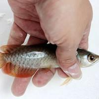 Ikan arwana red banjar