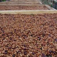 Kopi Argopuro Arabica Black Honey (greenbeans) 1 kg