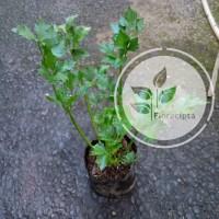 Bibit pohon seledri - sledri/Tanaman daun seledri - sledri