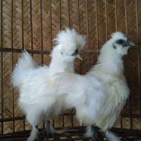 Ayam Kapas Silky