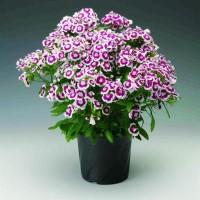 Tanaman hias bunga anyelir bunga ungu putih/ dianthus purple picotee
