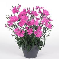 Tanaman hias bunga anyelir merah muda/ dianthus suntory pink