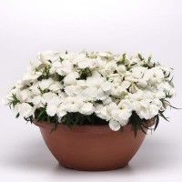 tanaman pot dianthus putih/anyelir corona white