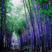 Benih Bambu Ungu Impor atau Purple Bamboo China Seed Import isi 10 Pcs