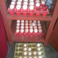 jual telur ayam cemani