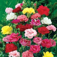 Benih Bibit Biji Bunga Carnation / Anyelir Mixed
