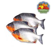 Ikan Bawal Tawar Segar - 500 gram