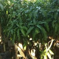 Pohon Mangga Harum Manis Siap Buah Tinggi 1.5 Meter.