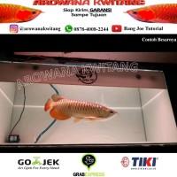 Ikan Arwana Golden Red - Arowana Golden Red RTG Ukuram 20cm MURAH