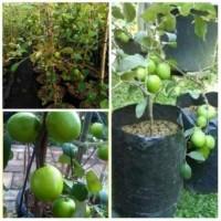 bibit apel putsa india besar tinggi 1 meter sudah berbunga / berbuah