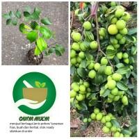 bibit pohon buah apel putsa - tabulampot apel putsa siap berbuah