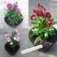 Tanaman Hias Bunga Anyelir + Pot
