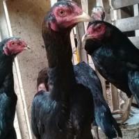 Telur Ayam Bangkok X pemacek Pakhoy