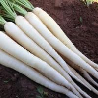 Bibit / Benih Biji Sayur Wortel Putih - Carrot Snow White isi 50 Biji