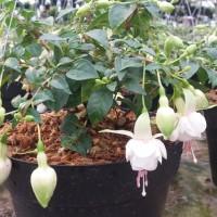 tanaman hias anting putri putih