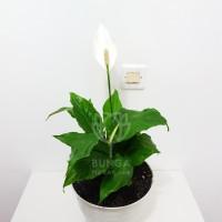 Tanaman Hias Peace Lily