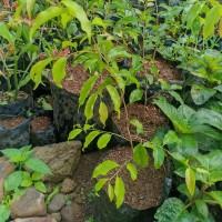 bibit pohon buah plum aussie/buah plum cepat berbuah