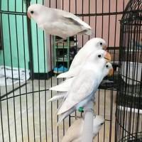 Promo Burung Lovebird Lb Pasput Paud Baby Bahan Anak Pastel Putih