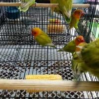 Promo Burung Lovebird Lb Pasjo Paud Baby Bahan Anak Pastel Ijo
