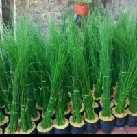 bambu air tanaman hias per pohon bibit benih bambo air