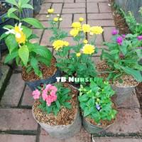 paket 5 bunga cantik/anyelir/lolypop/knop/aster/torenia