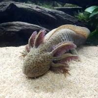 axolotl rare