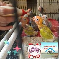 HOT SALE TERMURAH..!! Bubur Lolohan Baby Lovebird Nutrima Kemasan 1 kg