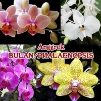Bibit Bunga Angrek Bulan Phalaenopsis Botol