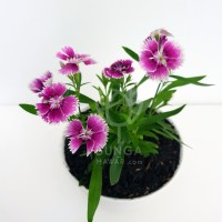 Tanaman Hias Anyelir Dianthus Ungu (Edible Flowers)
