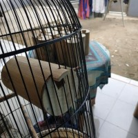 Big Promo glodok bambu lovebird / bambu setan Berkualitas