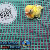 alas baby lovebird