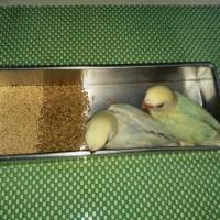 Tempat Pakan Aluminium untuk Baby Lovebird belajar makan