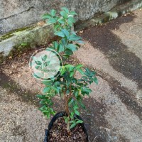 Bibit pohon anggur brazil / Kupalandak / Jaboticaba / Tanaman buah