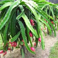 Bibit Pohon Naga Merah - Buah Naga - Tanaman Naga Merah - Dragon Fruit