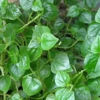 daun letumpang, suruhan atau sereh cina segar