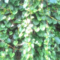 Daun binahong segar - Heartleaf maderavine madevine / Deng san chi)