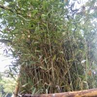 Bambu kelisik china,pohon bambu pagar,tanaman hias bambu