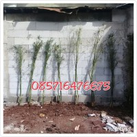 Jual Bambu Kelisik    Tanaman Pagar Hidup    Bambu china kelisik