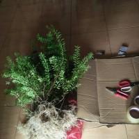 bahan bonsai anting putri mikro