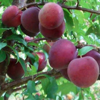 bibit plum aussie .plum australia