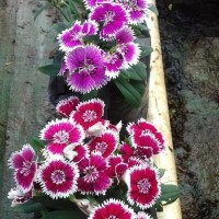 tanaman bunga anyelir