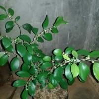 tanaman bidara cina /apel putsa