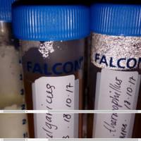 Kultur Bakteri Bacillus Coagulans