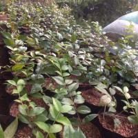 bibit pohon anggur brazil preco/presso- cepat berbuah