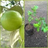 Kw Super Bibit Apel India / Putsa - Tanaman Buah Hidup- Terlaris!