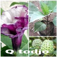 bibit tanaman pohon bunga kecubung ungu atau bunga terompet