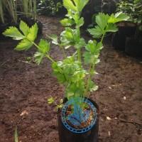 bibit pohon seledri/tanaman daun seledri celery sledri