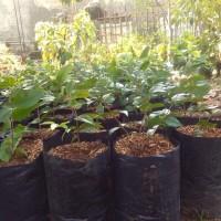 bibit pohon anggur brazil preco/jaboticaba preso